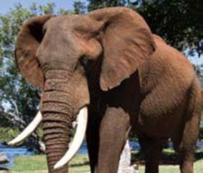 Danny the elephant on an elephant encounter activity at Zambezi Elephant Trails in Livingstone - Zambia