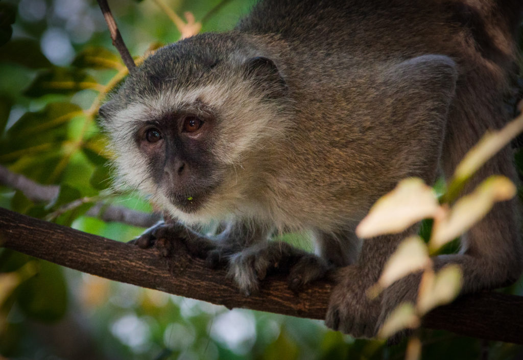 Vervet Monkey in the tree-tops