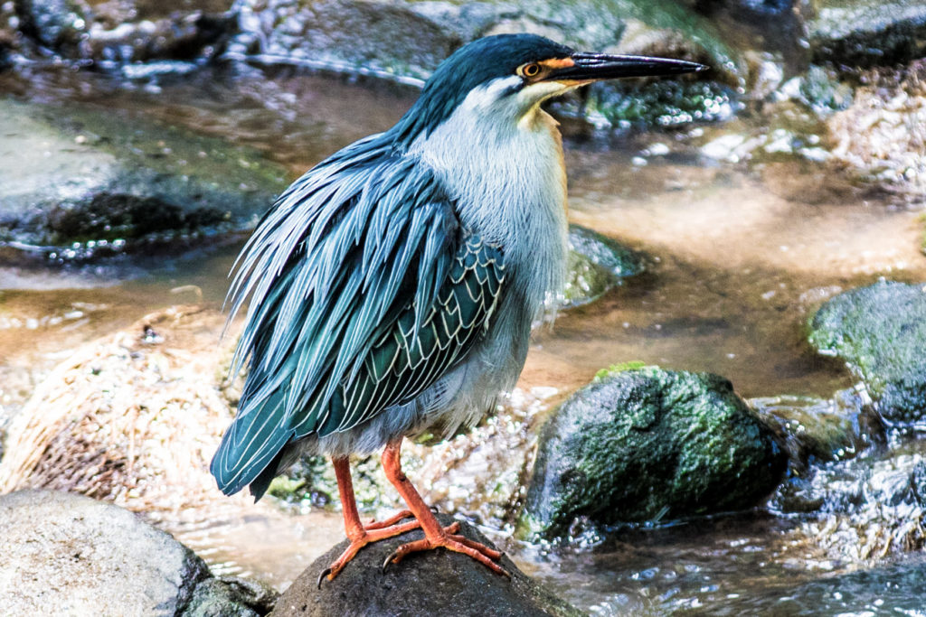 Green backed Heron at the river
